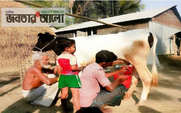 সরিষাবাড়ীতে গর্ভপাত বিহীন ১৩ মাস বয়সী বকনা বাছুরের দুগ্ধদান
