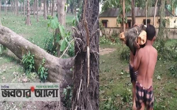বগুড়ার শেরপুরে সরকারি রাস্তার গাছ লোপাট