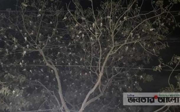 হিলি চারমাথা বকুলতলা পাখির কলরবে মুগ্ধ চারদিক