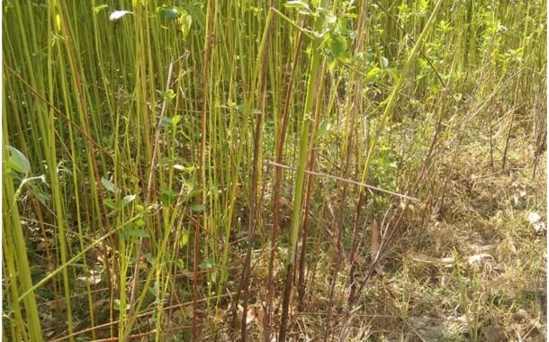 শিবগঞ্জে বিরল রোগে জমিতেই মারা যাচ্ছে পাট, বিপাকে কৃষকেরা