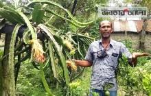সফলতার গল্প: নওগাঁয় বাড়ির আঙিনায় ড্রাগন চাষেই সাবলম্বী মান্নান