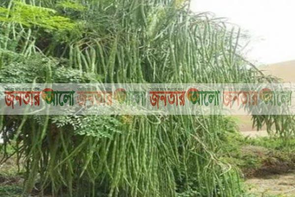 নবাবগঞ্জে সজিনার বাম্পার ফলন