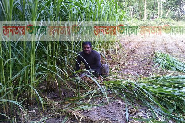 নেপিয়ার ঘাস চাষ করে স্বাবলম্বী 'হাসেন আলী'