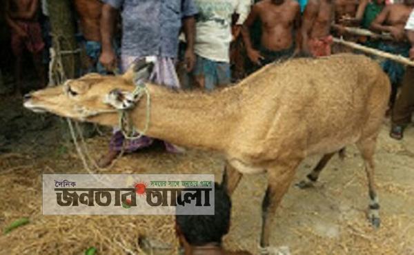 রানীশংকৈলে বিরল প্রজাতির ভারতীয় নীল গাই উদ্বার