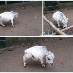 বিশ্বের সবচেয়ে ছোট 'রানি' খ্যাত গরুটি মারা গেছে (ভিডিও)