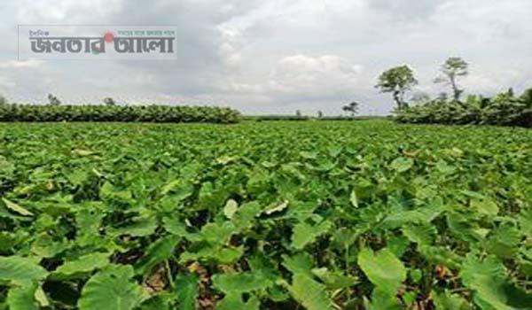 শিবগঞ্জে দাম কম হওয়ায় কৃষকেরা কচু জমিতেই রেখে দিচ্ছেন